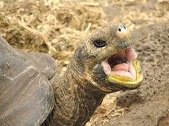 A yawning giant tortoise is a funny sight!