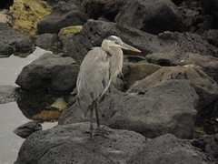 A Yellow Crowned Night Heron peruses the small pools of sea water for any edible treats; San Cristobal