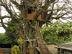 "Probably the most unique accommodation in all of the Galapagos. Fancy staying a night in a tree house at ""Quinta El Ceibo""? It is advertised as the largest and oldest tree in the Galapagos; San Cristobal Island"