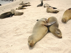 Two sea lions hugging it out on the beach; San Cristobal