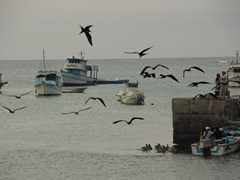 Frigate birds and pelicans hope to score an easy meal; San Cristobal harbor