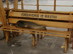 This sleepy sea lion made a bee line to its favorite bench; San Cristobal