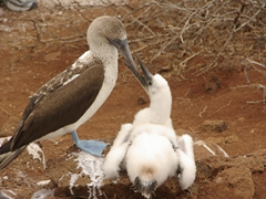 A blue footed booby contemplates feeding its chick; North Seymour