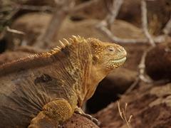 Profile of a land iguana; North Seymour