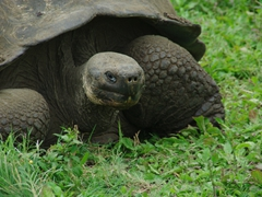 Giant tortoises thrive on private ranches where the owners charge a nominal fee for visitors; Santa Cruz