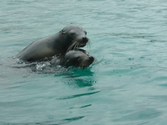 Playful sea lions put on a show for us; Floreana