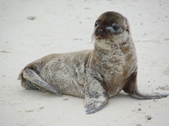 A sandy sea lion pup frolics nearby; Espanola's Gardner Bay