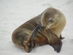 The quintessential sea lion pose; Espanola