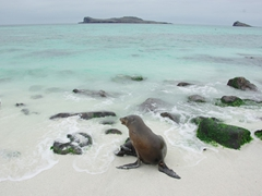 A sea lion shakes off the water after swimming in Espanola's pristine turquoise hued sea