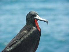 Frigate birds don't look quite as majestic without their puffed out red throat sac