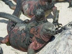 Marine iguanas are always found hugging each other for body heat; Espanola's Suarez Point