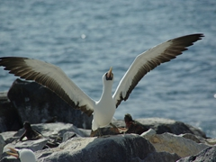 A nazca booby stretches its long wings; Espanola's Suarez Point