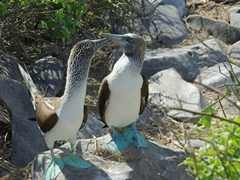 Blue footed boobies perform a mating ritual; Suarez Point