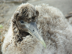 A fluffy albatross chick waits patiently for one of its parents to return for a feeding; Suarez Point