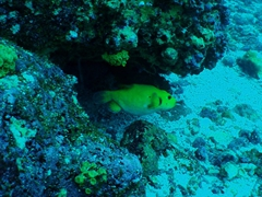 A yellow puffer fish darts away once it spots us