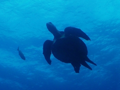 View of a green sea turtle, which are quite plentiful in the Galapagos