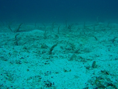 Garden eels will disappear into the sand if approached too closely so we forced ourselves to keep our distance