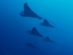 Spotted eagle rays are majestic creatures. This school of rays kept circling around us at Wolf Island