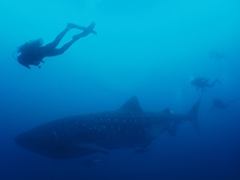 Swimming alongside a whale shark is one of the most incredible experiences!