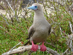 A red footed booby inquisitively checks us out; Genovesa