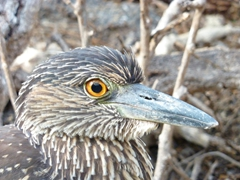 Close up of a heron at Genovesa's Darwin Bay