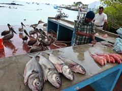 Brown pelicans wait patiently for a handout; Santa Cruz fish market