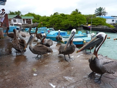 Another view of the hungry pelicans; fish market in Santa Cruz