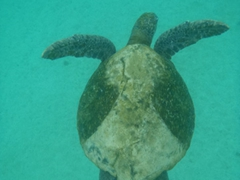 View of a green sea turtle; Floreana