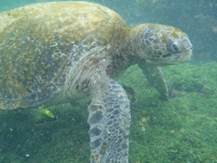 A friendly green sea turtle is not perturbed by our presence at all; Floreana