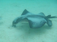 Becky spent some time snorkeling with this friendly eagle ray, which seemed completely unconcerned with her presence