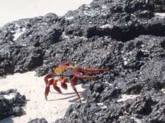 Sally Lightfoot crabs are extremely photogenic, with a blue underbelly contrasting with the red body