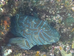 A giant hawkfish peers at us curiously but doesn't budge from its position