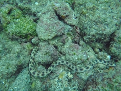 This poisonous sea snake buries into the sea bed through its tail first (and backs up into the sand)
