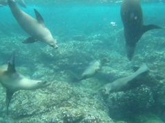 Playful sea lions off the coast of Santa Fe