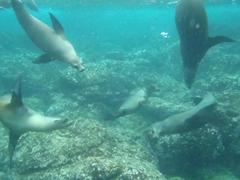 Playful sea lions off the coast of Santa Fe