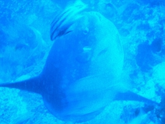 This mola-mola was quite large (6 feet), and we stared in amazement while trying to figure out what it was exactly (none of us had ever seen one before); Gordon Rocks