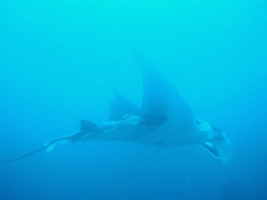 This giant manta ray was at least 21 feet in wingspan and we loved diving with it; Gordon Rocks