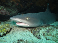 A white tip reef shark