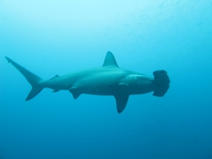 Profile of a hammerhead shark; Wolf Island