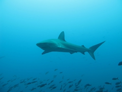 Schools of fish dart out of the way when larger predators glide by