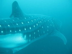 Its hard to visualize just how big this whale shark is...trust us, it is freaking massive and we were dwarfed by its sheer size