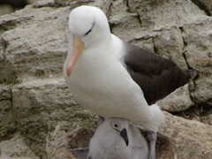 Black browed albatross with chick; New Island Settlement, New Island