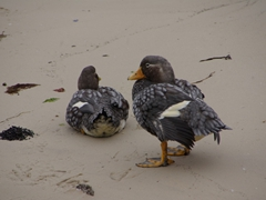 Falkland Steamer Ducks chilling on the beach at New Island