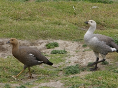 "A female and male pair of Upland Geese (also known as ""Magellan"" Geese) heading towards the beach on New Island"