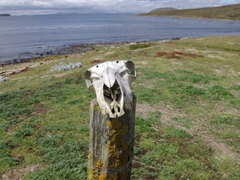 We passed by this animal skull on our leisurely walk from New Island Settlement to Ship Harbor Bay; New Island