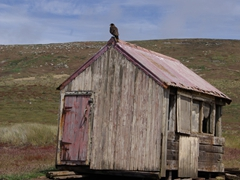 A Striated Caracara atop this rustic shack checks us out; New Island