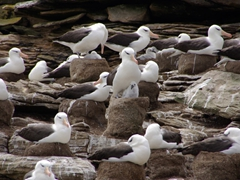 Black browed Albatross colony; Ship Harbor Bay on New Island