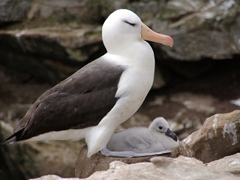 Profile of a Black browed albatross with its chick; Ship Harbor Bay