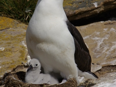 We spent hours watching the parenting skills of the black browed Albatross; Ship Harbor Bay