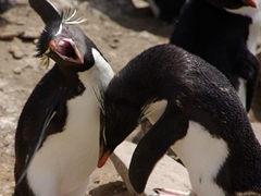Rockhopper Penguins performing ecstatic displays; Ship Harbor Bay